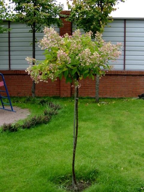 Выбор места для посадки саженца японской вишни