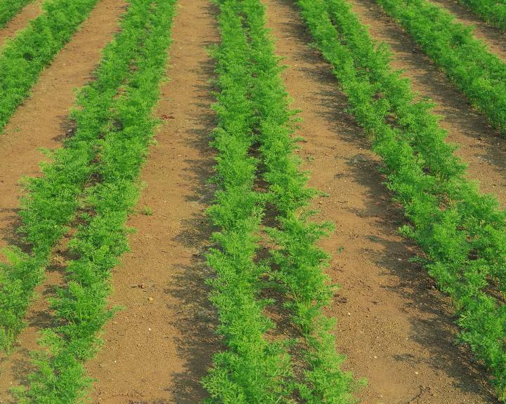 Выбор подходящего места для морковной грядки на участке
