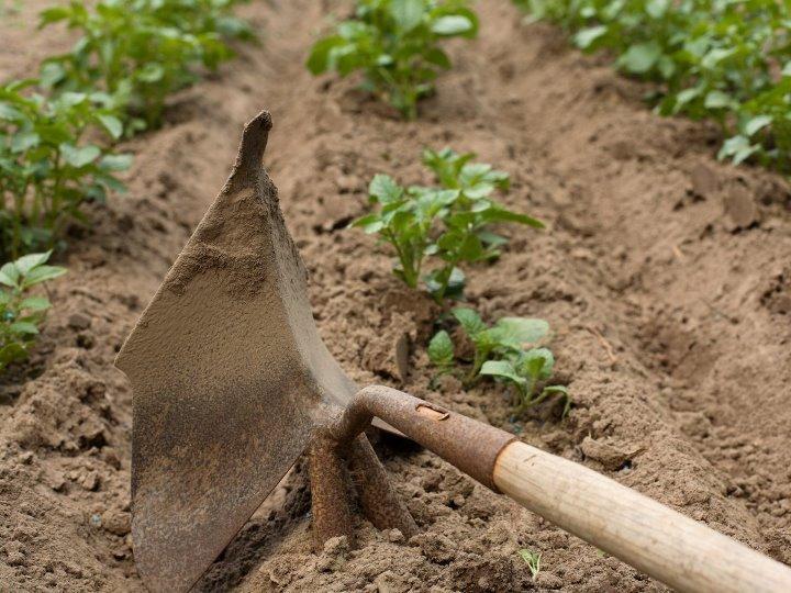 Выращивание картофеля на своем огороде - рыхление