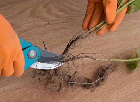 Выращивание малины черенками - необходимые инструменты и материалы