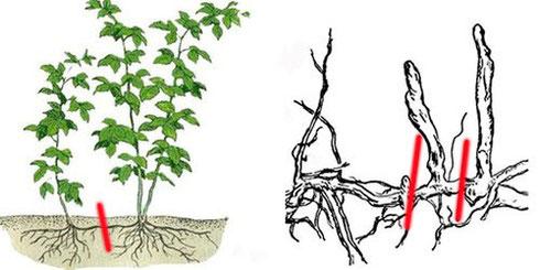 Выращивание малины черенками - особенности черенкования корней