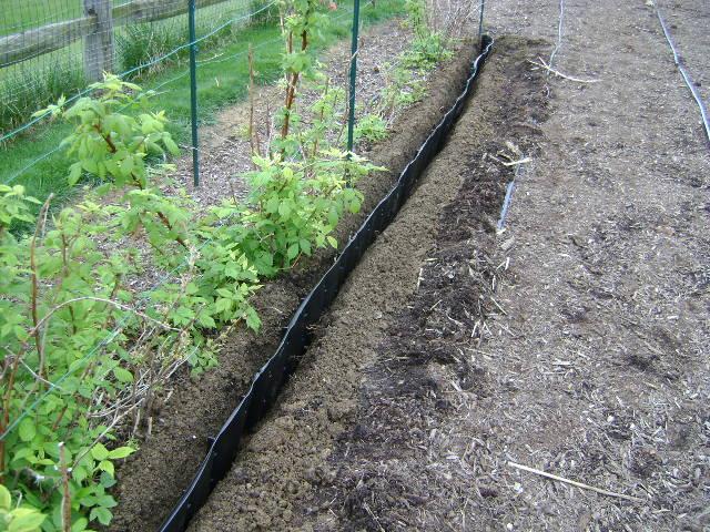 Выращивание малины на даче - технология посадочных работ