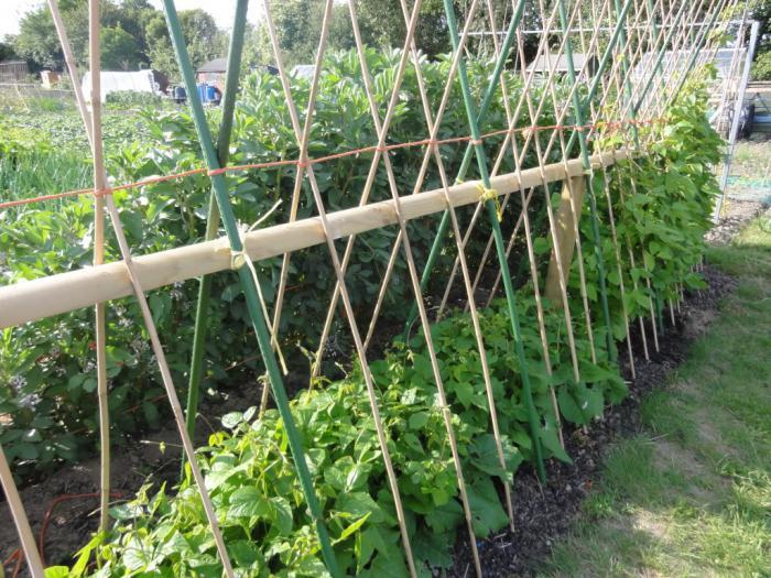 Выращивание стручковой фасоли на даче - как подвязать растение