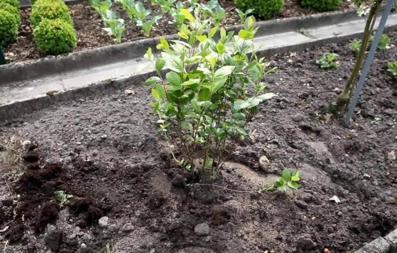 Высадка саженца черноплодной рябины на постоянное место произрастания