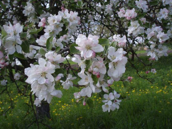 Яблоня белого налива в цвету
