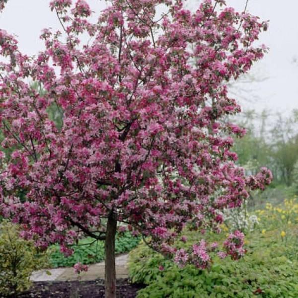 Яблоня декоративная Малиновка - невысокое деревце с шарообразной кроной