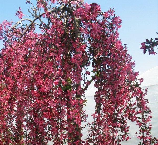 Яблоня плакучая Роял Бьюти с поникающими вниз ветвями