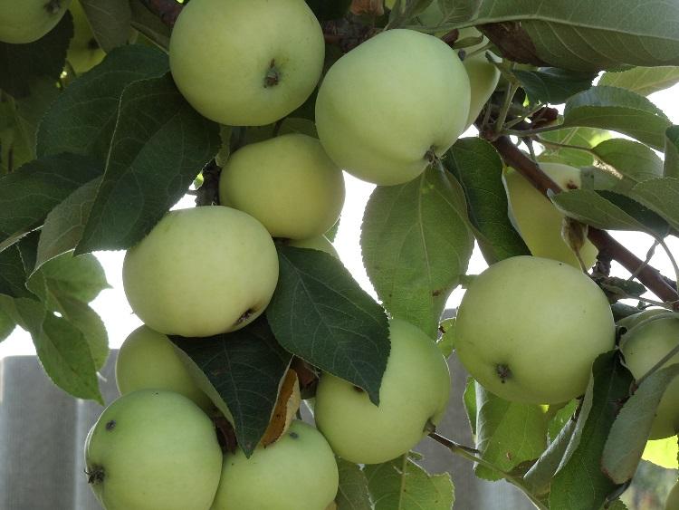 Яблоня сорта Белый налив - профилактика и защита от вредителей и болезней