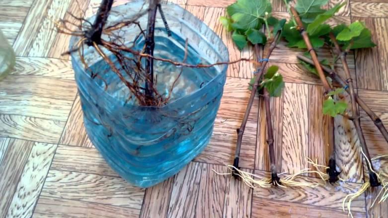 Замачивание корневой системы винограда перед посадкой