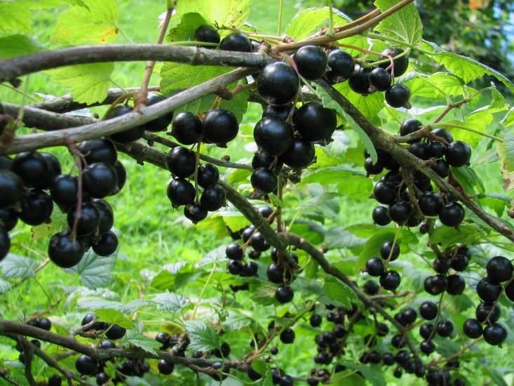 Защита черной смородины от заморозков, организация укрытия