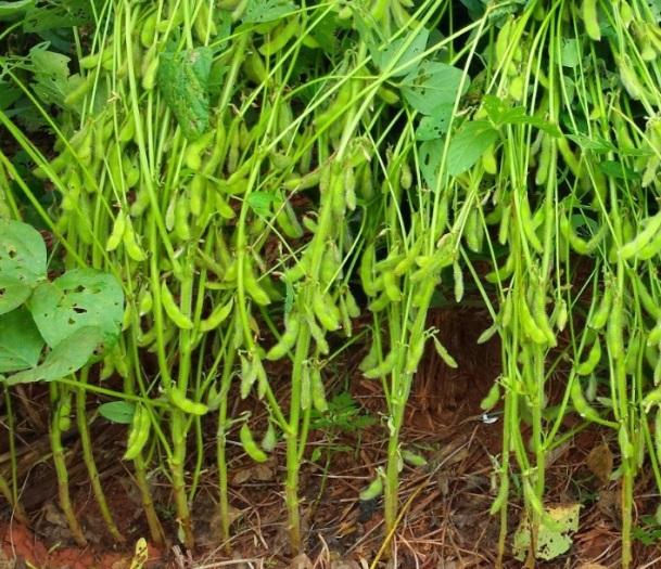 Как получить высокий урожай сои