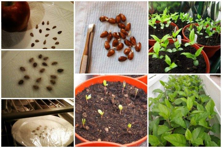 Как посадить семена яблони
