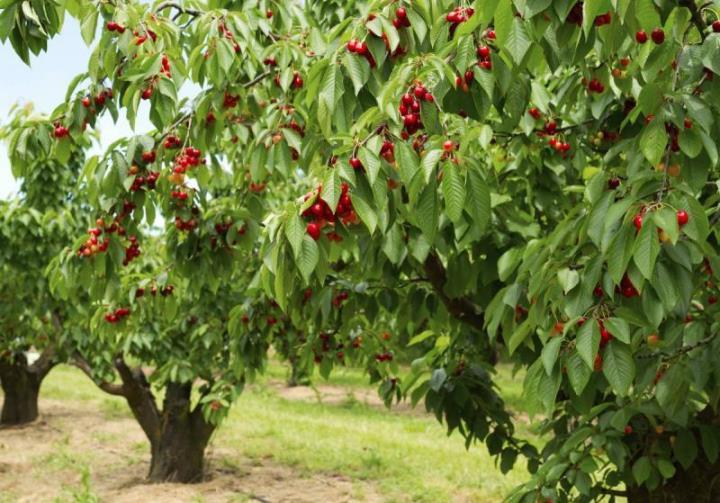 Как правильно разместить деревца черешни на садовом участке