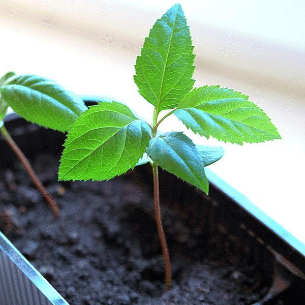 Как правильно выращивать яблоню из семечки в домашних условиях