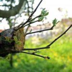 Как привить яблоню весной: основные способы