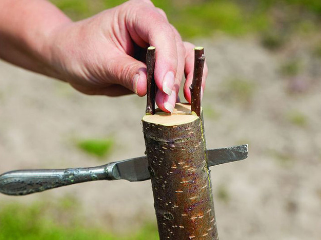 Как привить яблоню весной - основные способы