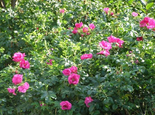Как цветет шиповник Рубин