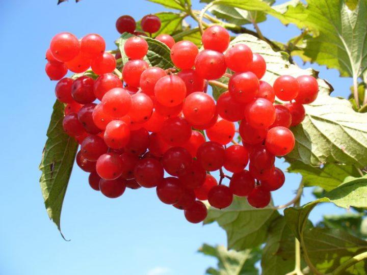Калина красная - лечебные свойства и противопоказания