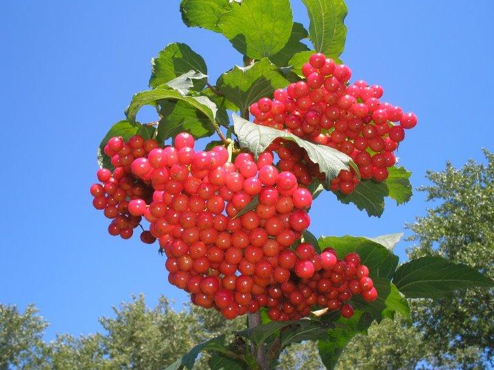 Калина красная - полезные свойства и противопоказания для здоровья человека