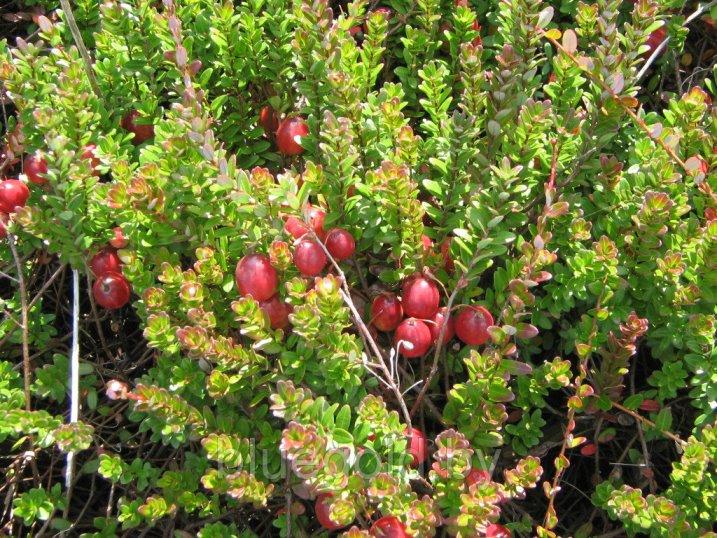 Клюква садовая сорт крупноплодная
