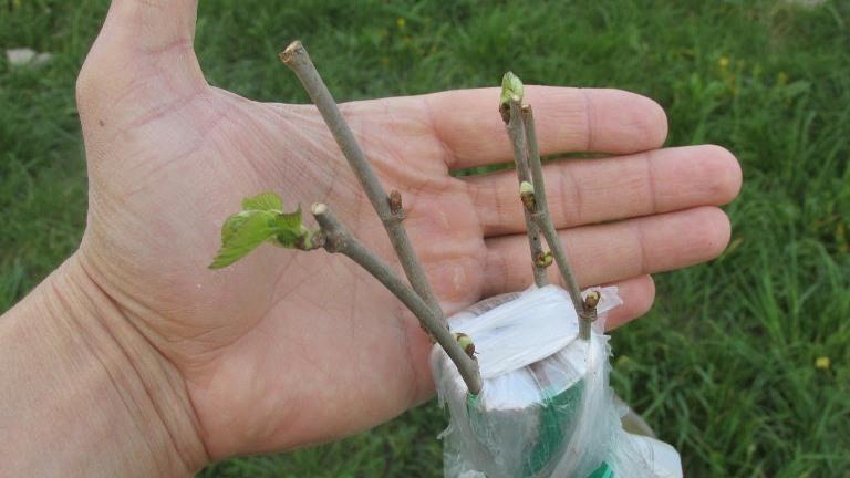 Когда нужно прививать деревья