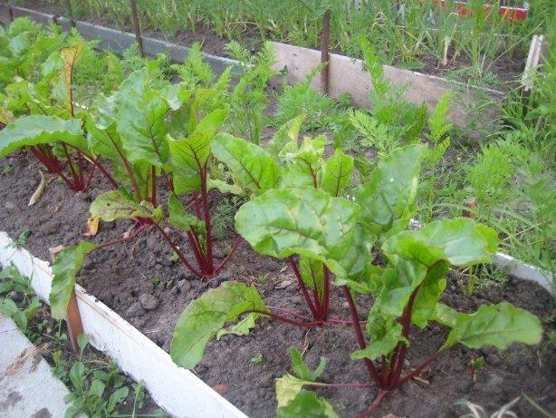 Когда ждать урожай свеклы - ранние, среднеспелые и поздние сорта