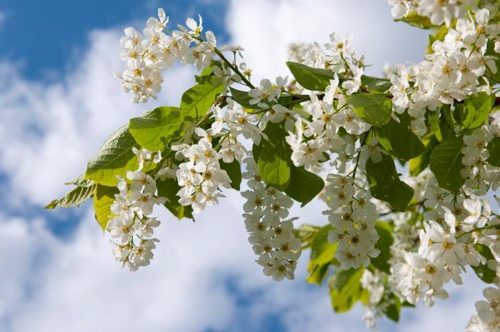 Лечебные свойства цветов черемухи