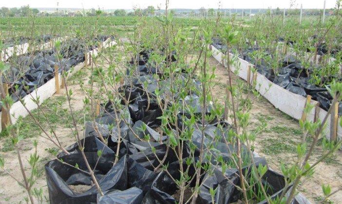 Лучшие способы размножение кустарника кизила