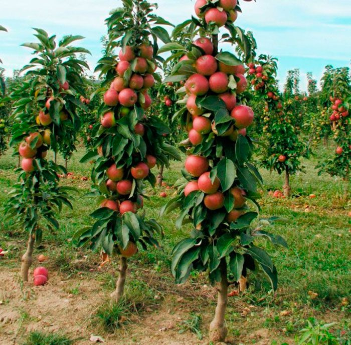 Можно ли вырастить колоновидную яблоню из семечка
