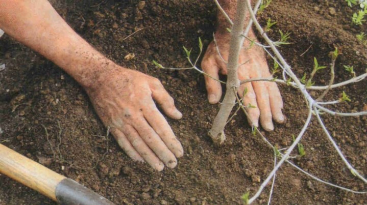 На какую глубину сажать деревце сливы