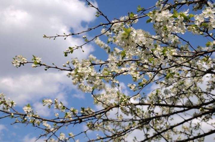 Настой цветков сливы при нарушениях пищеварения