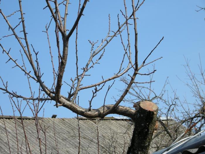 Обрезка и формирование кроны сливого дерева