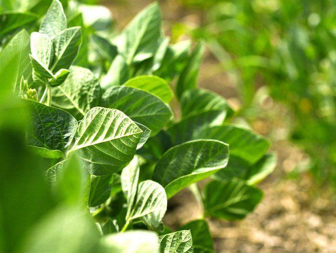 Основные правила ухода за соей на огороде