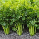 Правильно выращиваем полезный сельдерей
