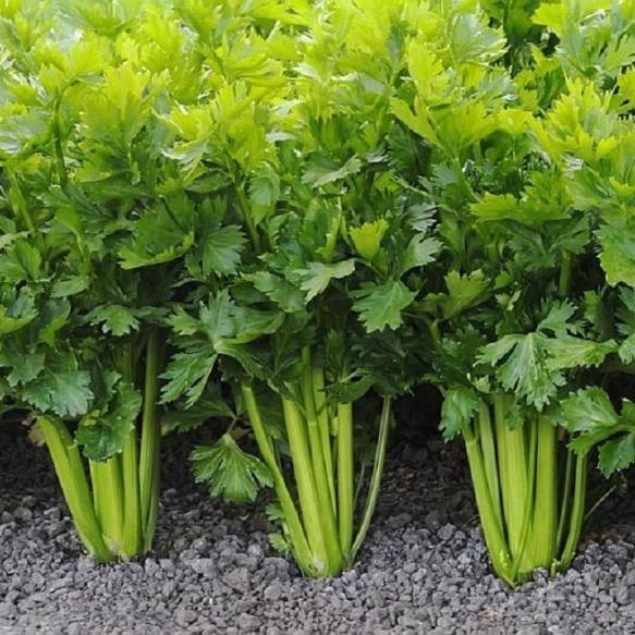 Основные правила выращивания полезного сельдерея на даче