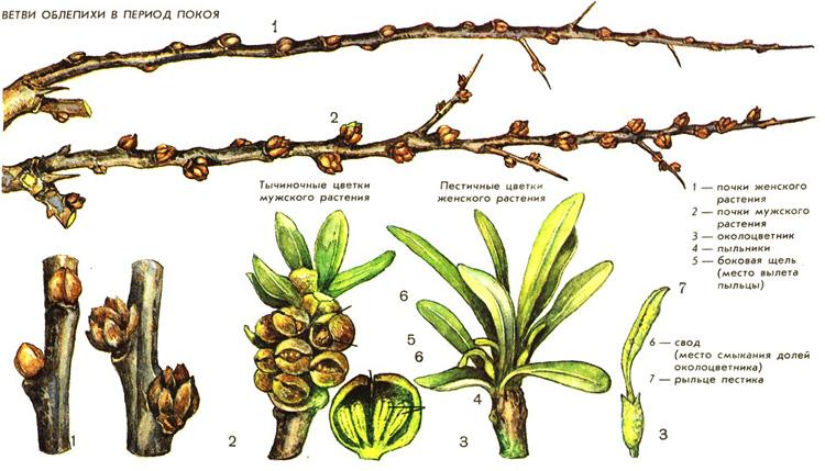 Особенности посадки и выращивания облепихи