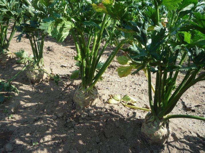 Особенности выращивания корневого сельдерея