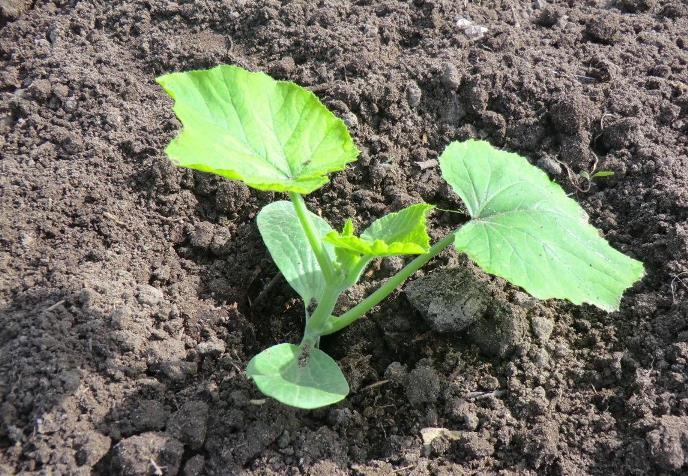 Подготовка и высадка тыквенной рассады в открытый грунт