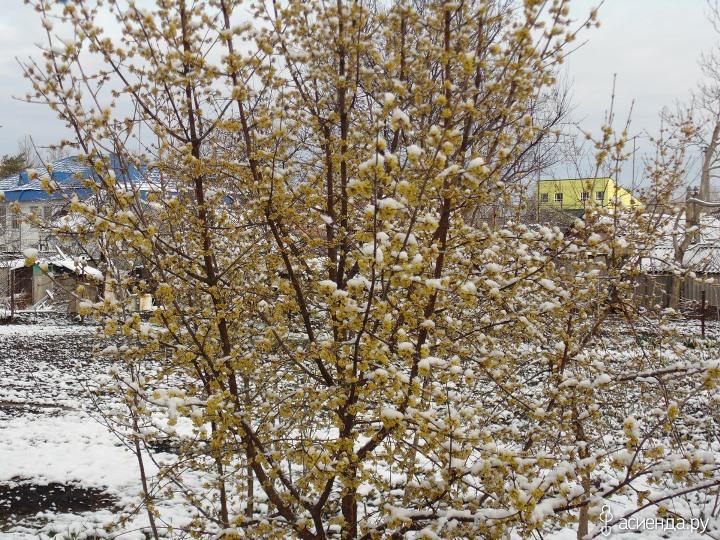 Подготовка кустарника кизила к зиме