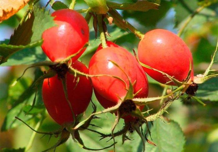 Полезные свойства и вред плодов шиповника