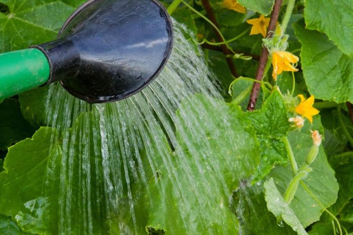 Полив и удобрение тыквы в период цветения и завязи плодов