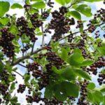 Польза и вред листьев, цветов и ягод черёмухи для здоровья