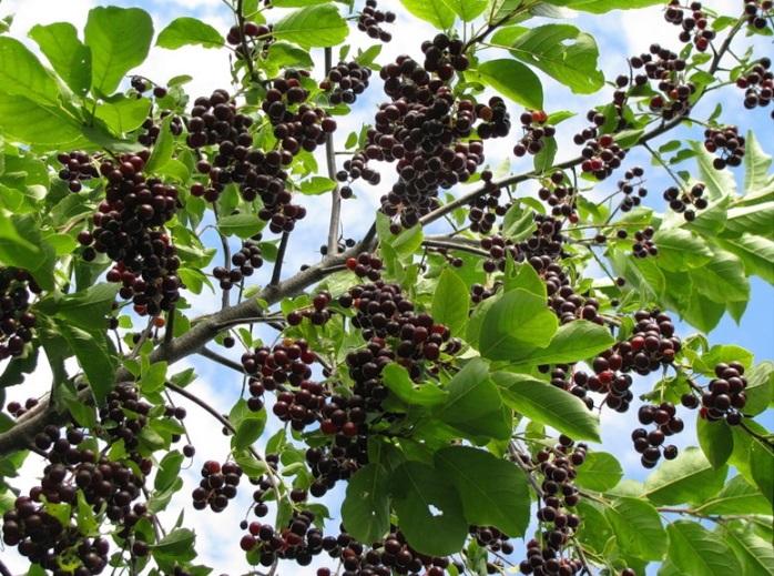 Польза и вред листьев, цветов и ягод черёмухи для здоровья человека