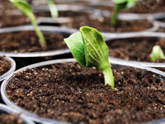 Посев семян тыквы - когда ждать первые всходы растения