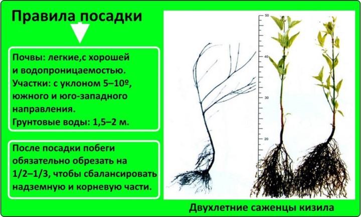 Пошаговый процесс посадки кизила