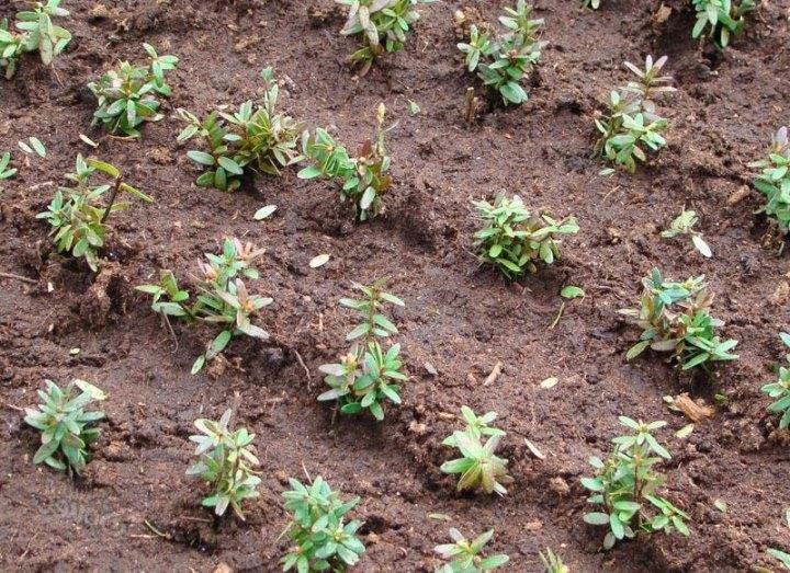 Правила посадки садовой клюквы