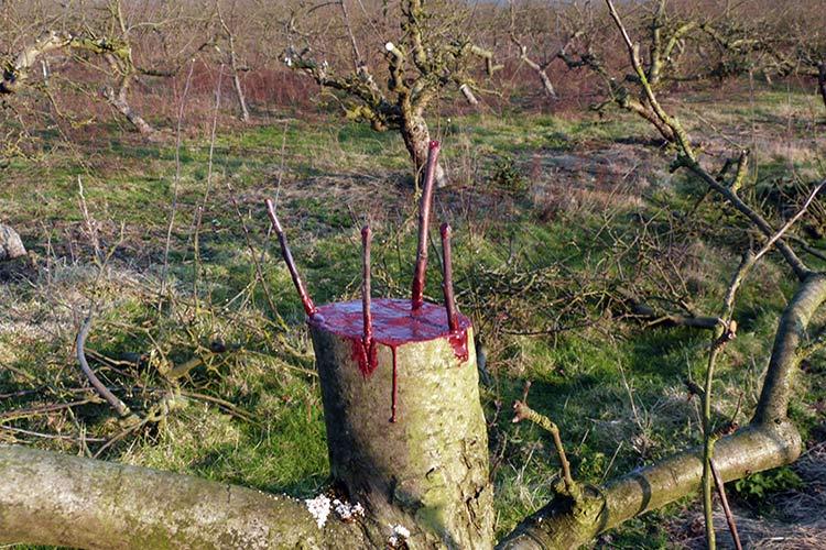 Прививка яблони на сливу весной