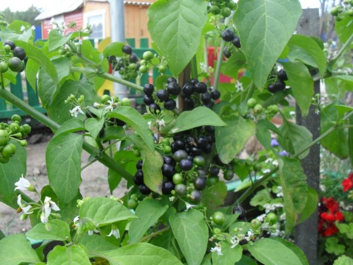 Санберри - описание и особенности гибридных ягод