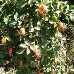 Выращивание шиповника: посадка и уход
