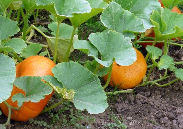 Сбор и хранение урожая тыквы - как определить степень спелости плодов